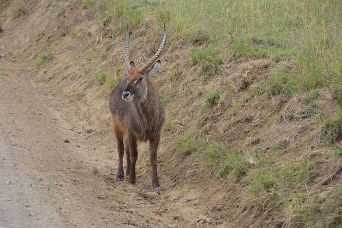 Defassa Waterbuck - Kobus ellipsiprymnus defassa - Lake Nukuru Kenya D5200 213 11-6-14.jpg
