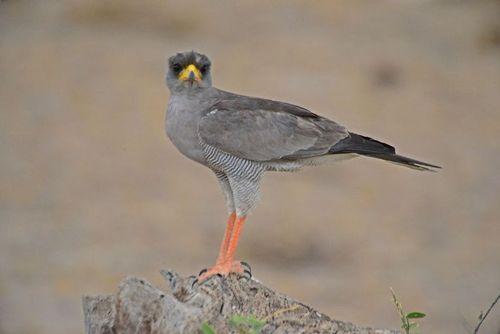 Eastern Chanting Goshawk - Melierax poliopterus - Amboseli NP D800  359 11-11-14E.jpg