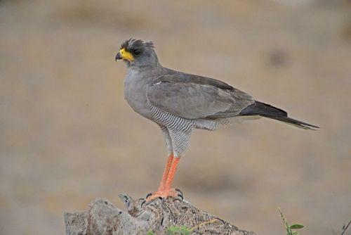 Eastern Chanting Goshawk - Melierax poliopterus - Amboseli NP D800 360 11-11-14E.jpg