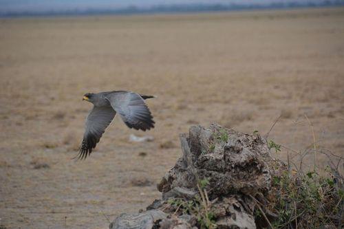 Eastern Chanting Goshawk - Melierax poliopterus - Amboseli NP Kenya D5200 469 11-11-14.jpg