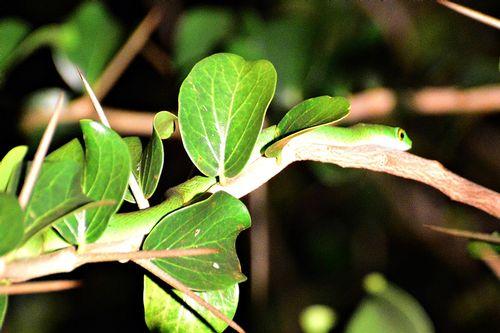 Eastern Green Mamba - Dendroaspis angusticeps - Tsavo West NP D800 459 11-12-14CE.jpg