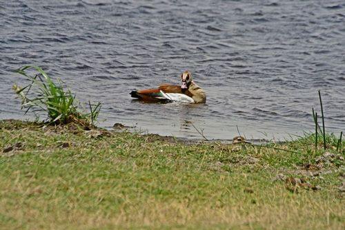 Egyptian Goose - Alopochen aegyptiacus - Amboseli NP Kenya D800 252 11-11-14E.jpg