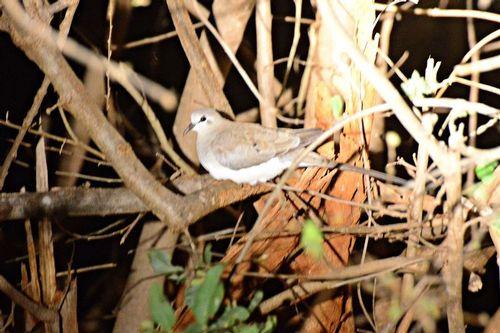 Female Namaqua Dove - Oena capensis - Amboseli NP Kenya D800 328 11-12-14CE.jpg