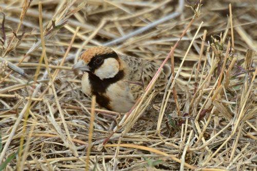 Fischers Sparrow Lark -  Eremopterix leucopareia - Ngorongoro D800 178 11-19-14CE.jpg