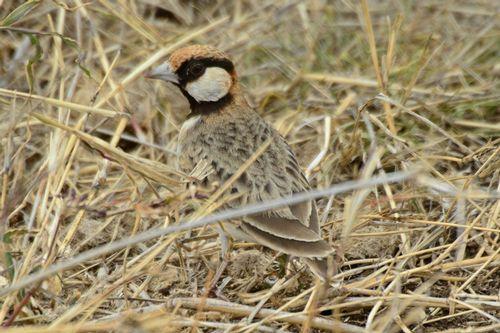 Fischers Sparrow Lark -  Eremopterix leucopareia - Ngorongoro D800 180 11-19-14CE.jpg