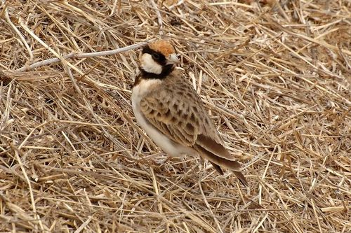 Fischers Sparrow-Lark - Eremopterix leucopareia - Ngorongoro NP D2X 087 11-19-14CE.jpg