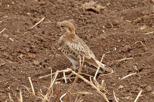 Fischers Sparrow-Lark - Eremopterix leucopareia - Ngorongoro NP D2X 093 11-19-14CE.jpg