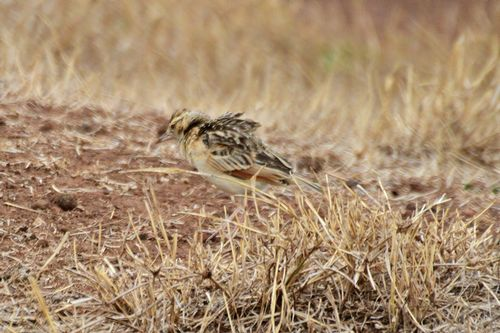 Flappet Lark -  Mirafra rufocinnamomea - Ngorongoro NP Tanzania D800 157 11-19-14CE.jpg