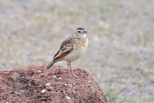 Flappet Lark - Mirafra rufocinnamomea - Ngorongoro NP Tanzania D800 001 11-19-14CE.jpg