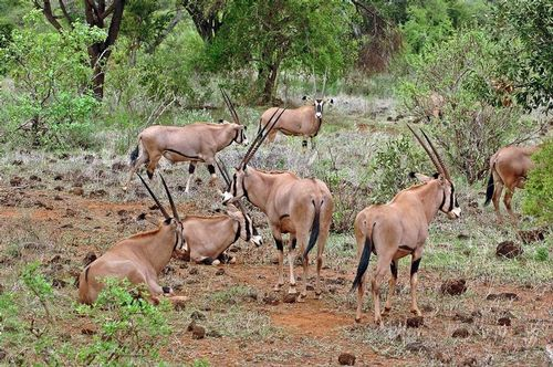 Fringe-eared oryx - Oryx beisa callotis - Tsavo NP Kenya D2X  075 11-12-14E.jpg