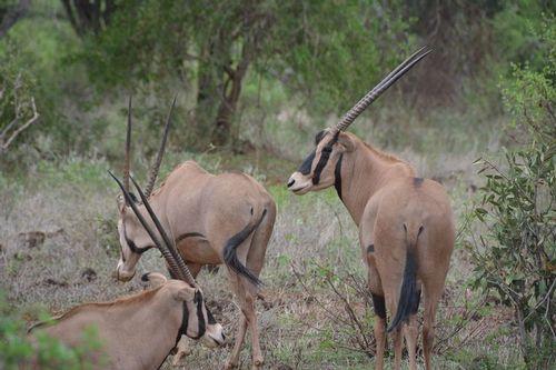 Fringe-eared oryx - Oryx beisa callotis - Tsavo NP Kenya D5200 149 11-12-14.jpg
