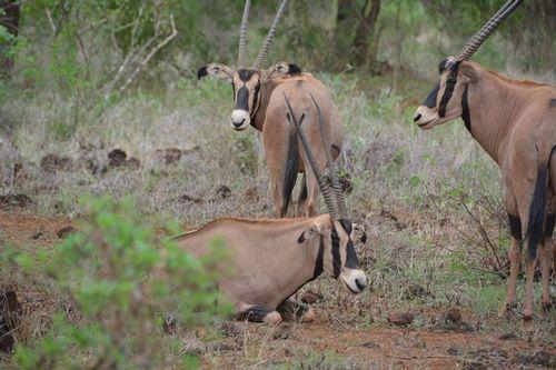 Fringe-eared oryx - Oryx beisa callotis - Tsavo NP Kenya D5200 154 11-12-14.jpg