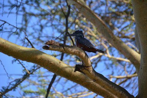 Giant Kingfisher - Megaceryle maxima - Lake Navashia D5200 157 11-7-14.jpg