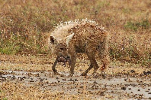 Golden Jackal - Canis aureus - Ngorongoro NP Tanzania D2X 141 11-19-14CE.jpg