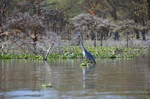 Goliath Heron - Ardea goliath - Lake Navashia NP Kenya D5200 467 11-7-14.jpg