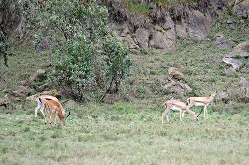 Grants Gazelle - Nanger granti - Hells Gate NP Kenya D800 426 11-6-14CE.jpg