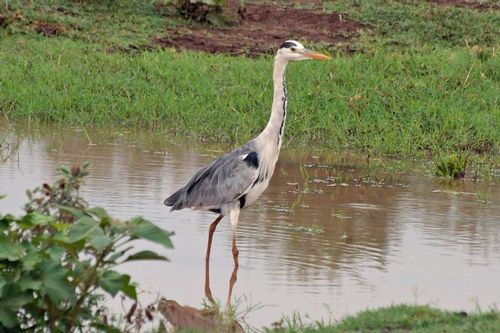 Gray Heron - Ardea cinerea - Lake Manyara NP Tanzania D2X 081 11-14-14CE.jpg