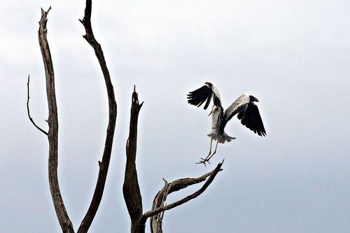 Gray Heron - Ardea cinerea - Lake Nakuru NP Kenya D800 015 11-6-14CE.jpg