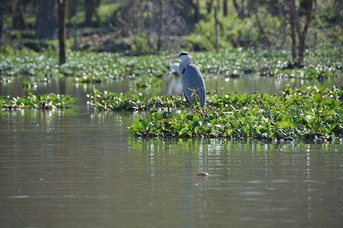 Gray Heron - Ardea cinerea - Lake Navashia NP Kenya D5200 195 11-7-14.jpg