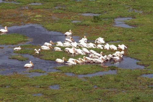 Great White Pelican - Pelecanus onocrotalus - Amboseli NP Kenya D2X  043 11-11-14CE.jpg