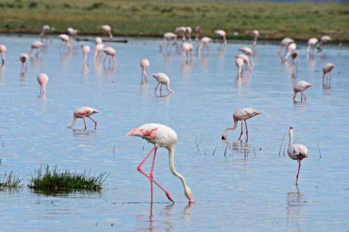 Greater and Lesser Flamingos - - Lake Nakuru NP Kenya D800 227 11-6-14CE.jpg