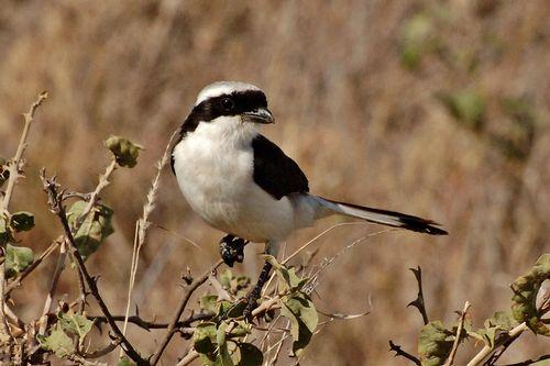 Grey-backed Fiscal - Lanius excubitoroides - Serengeti NP Tanzania D2X 024 11-17-14CE.jpg