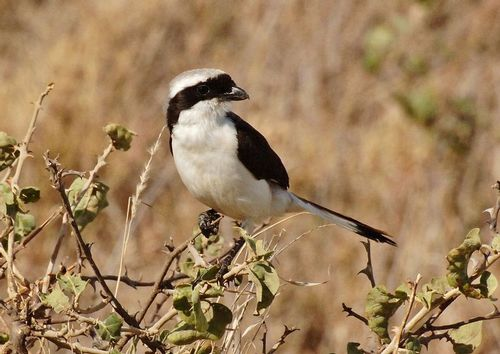 Grey-backed Fiscal - Lanius excubitoroides - Serengeti NP Tanzania D2X 026 11-17-14CE.jpg