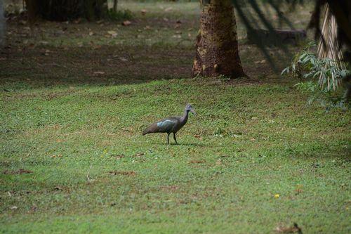Hadada Ibis - Bostrychia hagedash - Amboseli NP Kenya D5200  150 11-11-14.jpg