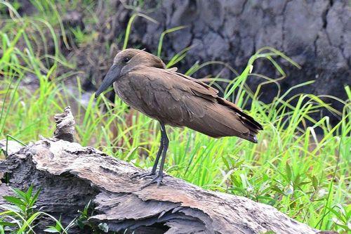 Hamerkop - Scopus umbretta - Masai Mara NP Kenya D800 188 11-9-14CE.jpg