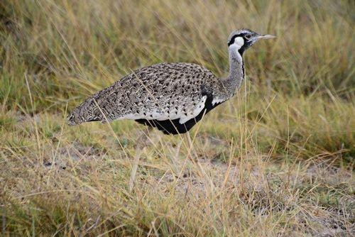 Hartlaubs Bustard - Eupodotis hartlaubii - Amboseli NP Kenya D800 104 11-11-14E.jpg