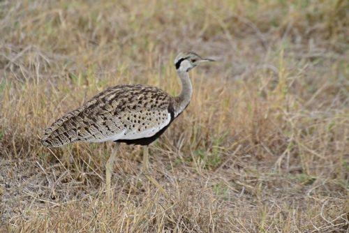 Hartlaubs bustard - Lissotis hartlaubii - Ngorongoro NP Tanzania D800 151 11-19-14CE.jpg