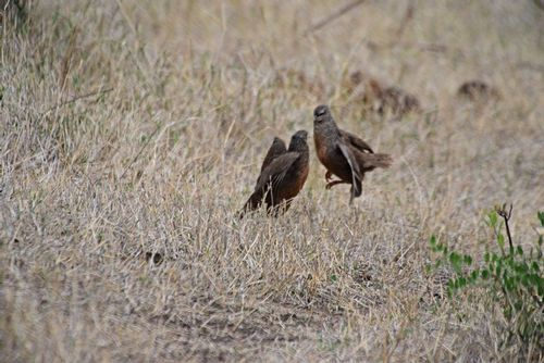 Hildebrandts Francolin - Francolinus hildebrandti - Ngorongoro Tanzania D800 032 11-19-14E.jpg
