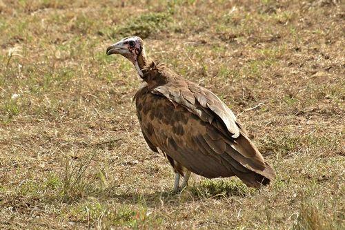 Hooded Vulture - Necrosyrtes monachus - Masai Mara NP Kenya D2X 280 11-8-14CE.jpg