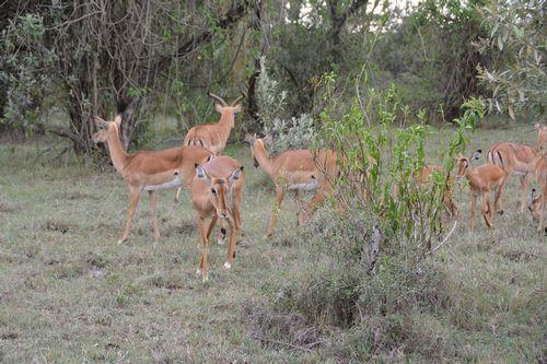 Impala - Aepyceros melampus - Lake Nukuru NP Kenya D5200 055 11-6-14.jpg