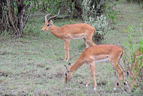 Impala - Aepyceros melampus - Lake Nukuru NP Kenya D800 068 11-6-14E.jpg