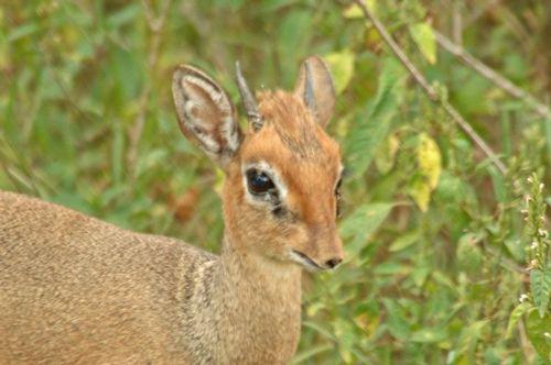 Kirks Dik-Dik - Madonqua kirkii - Lake Nakuru NP Kenya D2X 100 11-6-14E.jpg
