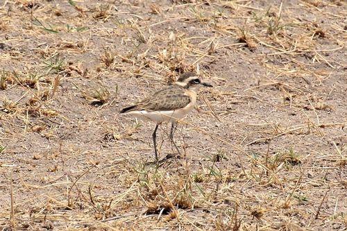 Kittlitzs Plover - Charadrius pecuarius - Amboseli NP Kenya D2X  019 11-11-14CE.jpg