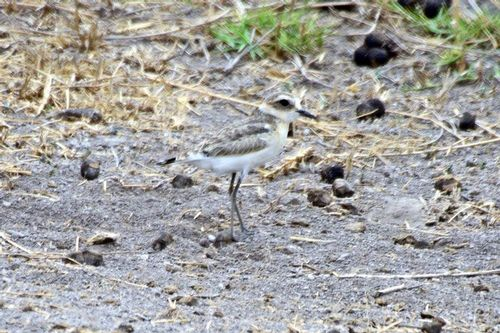 Kittlitzs Plover - Charadrius pecuarius - Amboseli NP Kenya D800  210 11-11-14CE.jpg