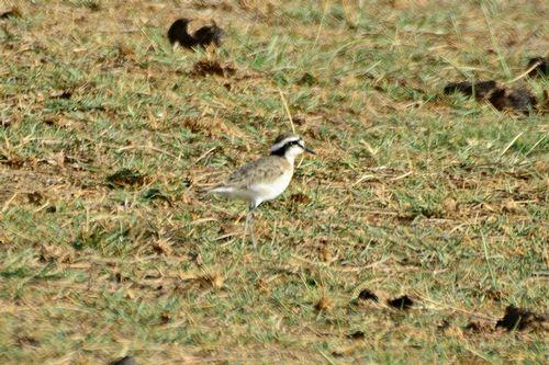 Kittlitzs Plover - Charadrius pecuarius - Amboseli NP Kenya D800 114 11-12-14CE.jpg