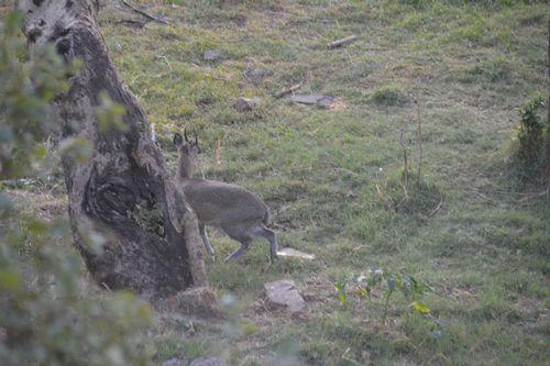 Klipspringer - Oreotragus oreotragus - Serengeti NP Tanzania D5200 006 11-16-14.jpg