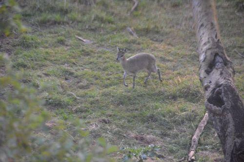 Klipspringer - Oreotragus oreotragus - Serengeti NP Tanzania D5200 011 11-16-14.jpg