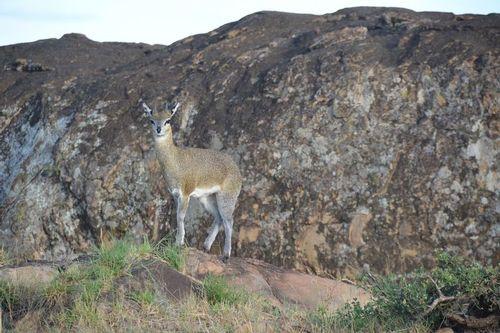 Klipspringer - Oreotragus oreotragus - Serengeti NP Tanzania D5200 023 11-16-14.jpg