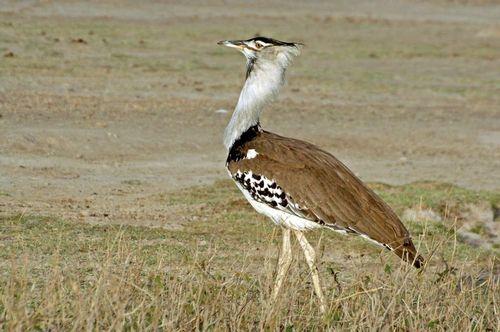 Kori Bustard - Ardeotis kori - Ngorongoro NP Tanzania D2X 009 11-18-14E.jpg