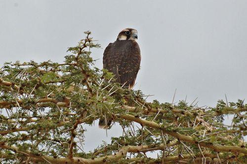 Lanner Falcon - Falco biarmicus - Ngorongoro NP Tanzania D2X 066 11-19-14CE.jpg