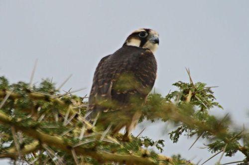 Lanner Falcon - Falco biarmicus - Ngorongoro NP Tanzania D800 113 11-19-14CE.jpg