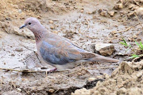 Laughing Dove - Streptopelia senegalensis - Lake Nakuru NP Kenya D800 296 11-6-14CE2.jpg
