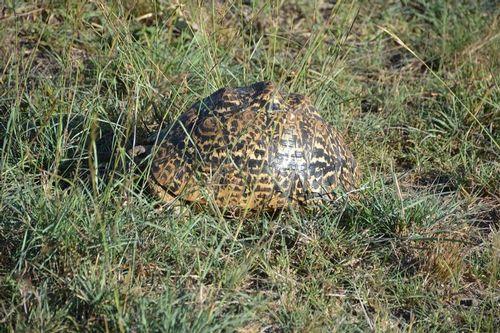 Leopard Tortoise - Stigmochelys pardalis - Masai Mara NP Kenya D5200 602 11-7-14.jpg