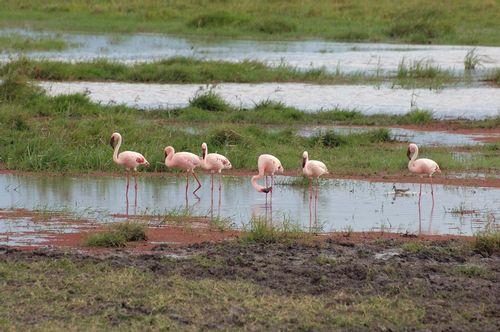 Lesser Flamingo - Phoenicopterus minor - Amboseli NP Kenya D2X  078 11-11-14E.jpg
