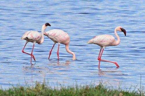 Lesser Flamingo - Phoenicopterus minor - Lake Nakuru NP Kenya D800 226 11-6-14CE2.jpg