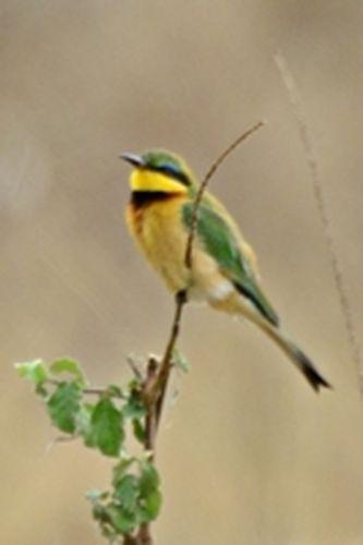 Little Bee-eater - Merops pusillus  - Ngorongoro NP Tanzania D800 186 11-19-14CE.jpg